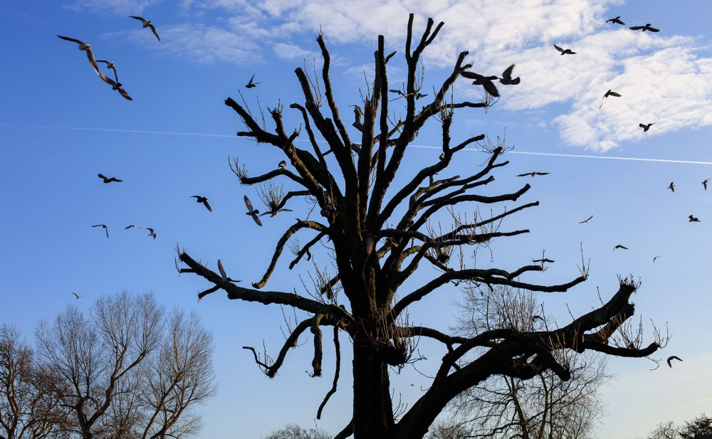 barren tree tops with birds circling above